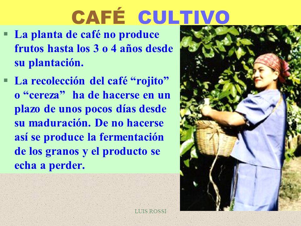 LUIS ROSSI CAFÉ CULTIVO §La planta de café no produce frutos hasta los 3 o 4 años desde su plantación. §La recolección del café rojito o cereza ha de
