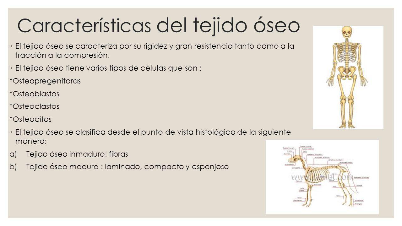 OSTEOBLASTOS FUNCIÓN: Los osteoblastos son células oseas especializadas en producir la matriz particular que tiene el hueso.
