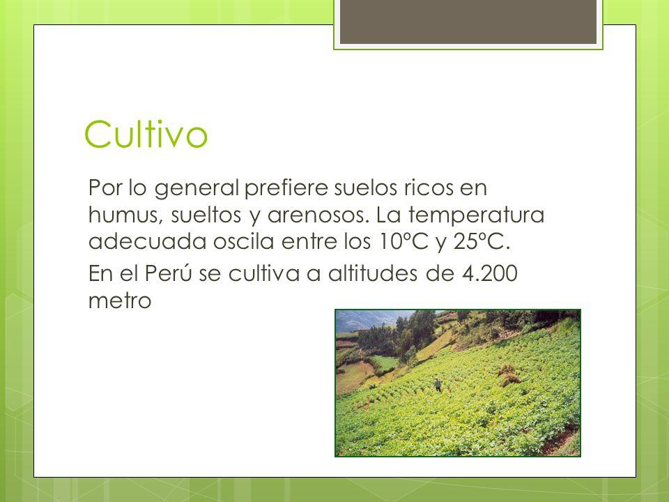 Cultivo Por lo general prefiere suelos ricos en humus, sueltos y arenosos. La temperatura adecuada oscila entre los 10ºC y 25ºC. En el Perú se cultiva