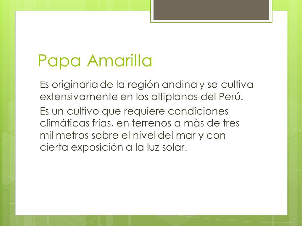Papa Amarilla Es originaria de la región andina y se cultiva extensivamente en los altiplanos del Perú. Es un cultivo que requiere condiciones climáti