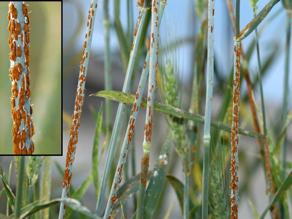 PUCCINIA STRIIFORMIS F. SP. TRITICI Es una roya que afecta a la planta del trigo (Triticum sps). Se identifica por la aparición de pequeñas ampollas s