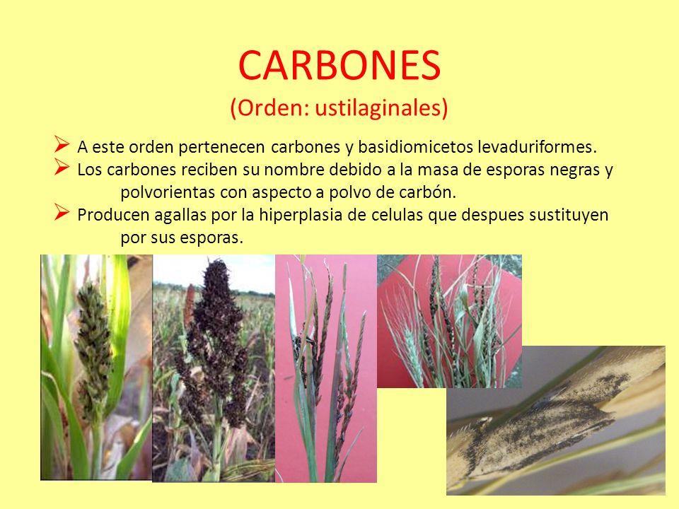 PUCCINIA GRAMINIS (Ejemplo) En el trigo hay 40 genes que producen resistencia a royas. En la llamada revolucion verde comenzaron a usarse cultivares r