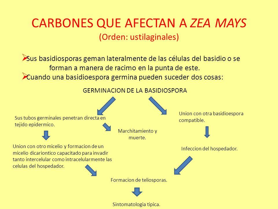 CARBONES (Orden: ustilaginales) Todos los carbones son patogenos de plantas. Principalmente atacan flores. El micelio se extiende mucho y afecta intra