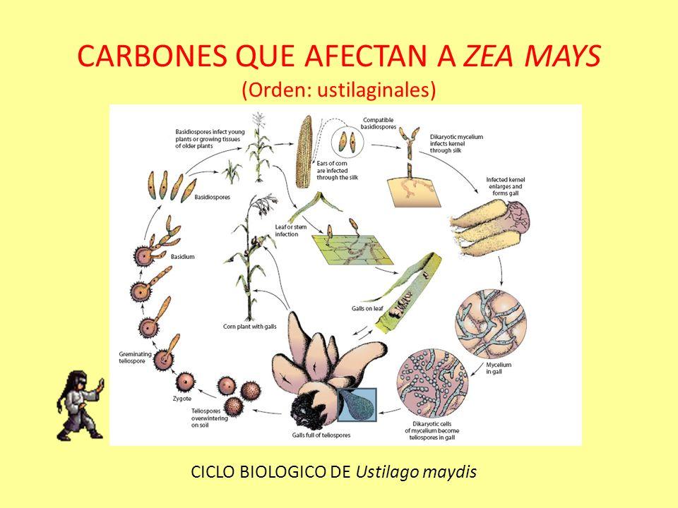 CARBONES QUE AFECTAN A ZEA MAYS (Orden: ustilaginales) Sus basidiosporas geman lateralmente de las células del basidio o se forman a manera de racimo