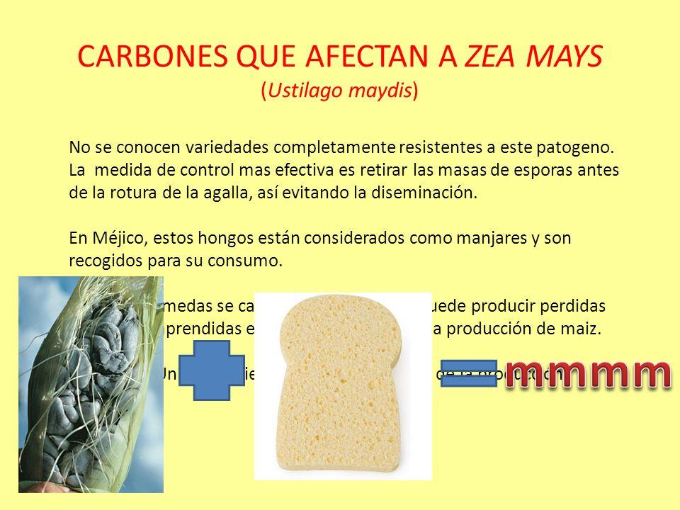 CARBONES QUE AFECTAN A ZEA MAYS (Orden: ustilaginales) CICLO BIOLOGICO DE Ustilago maydis