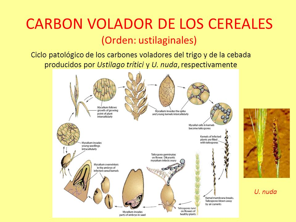 CARBONES QUE AFECTAN A ZEA MAYS (Ustilago maydis) No se conocen variedades completamente resistentes a este patogeno. La medida de control mas efectiv