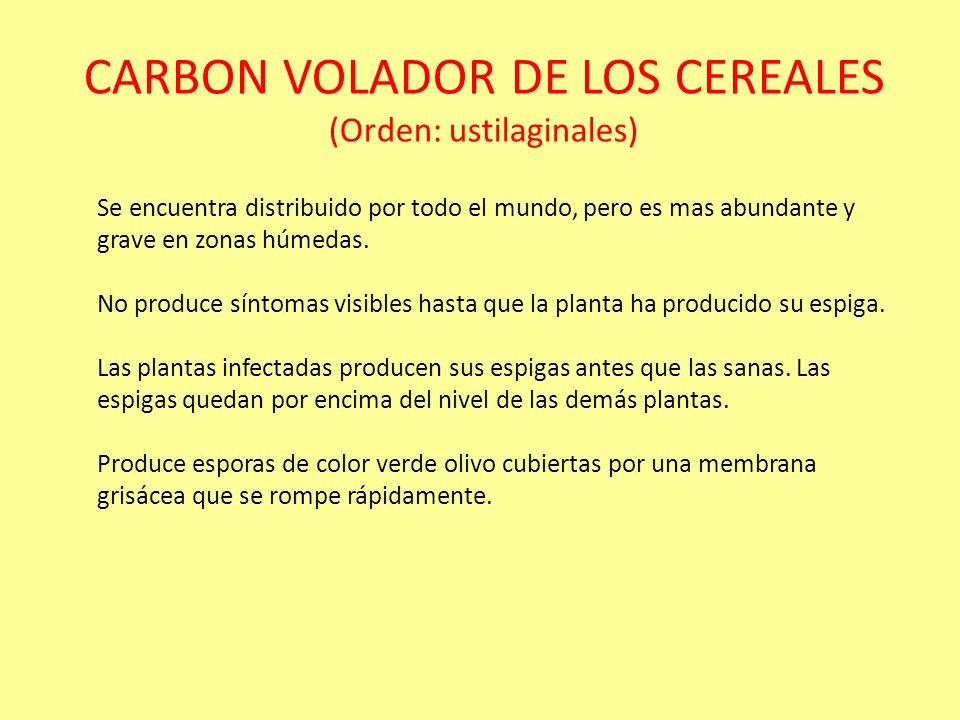 CARBON VOLADOR DE LOS CEREALES (Orden: ustilaginales) Ciclo patológico de los carbones voladores del trigo y de la cebada producidos por Ustilago trít