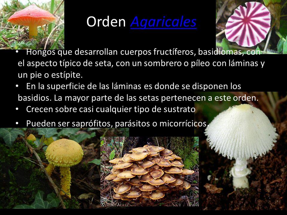 Orden LycoperdalesLycoperdales Carecen de un estípite verdadero. Poseen gleba pulverulenta en la madurez. Encontramos tres familias: Lycoperdaceae, My