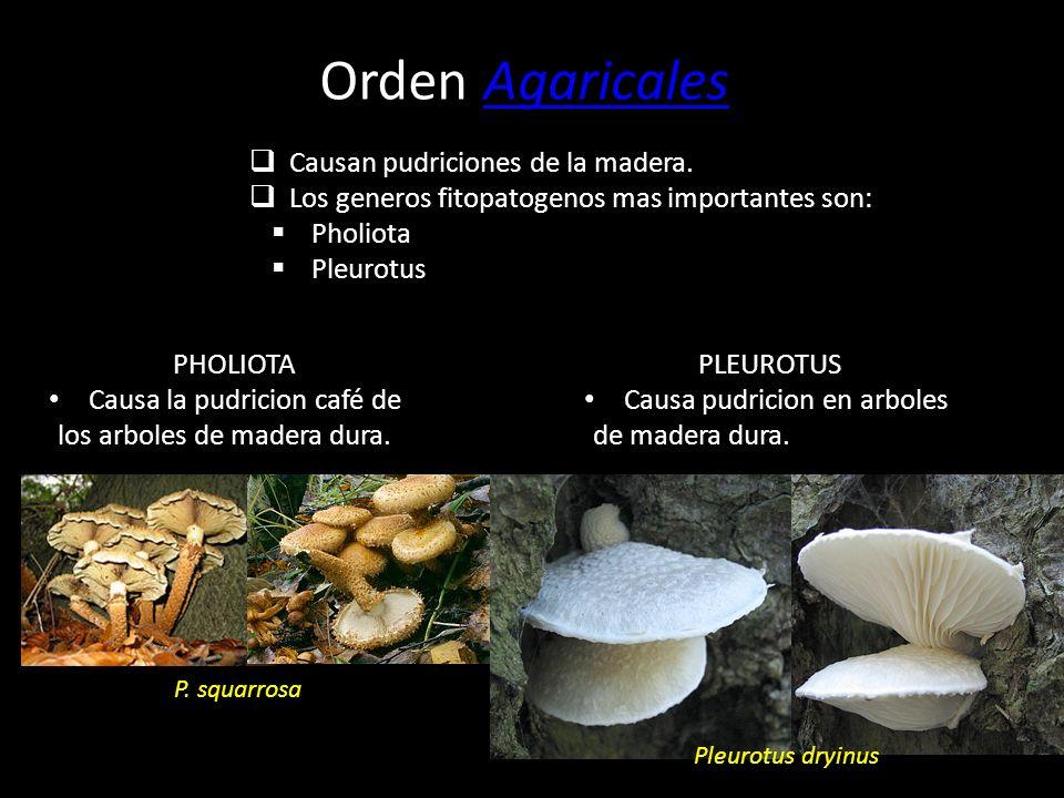 Orden AgaricalesAgaricales Hongos que desarrollan cuerpos fructíferos, basidiomas, con el aspecto típico de seta, con un sombrero o píleo con láminas