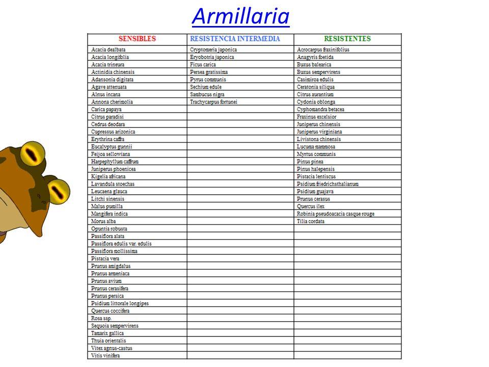 Armillaria Produce pudrición de la raíz en arboles, arbustos y algunas plantas herbáceas. Los síntomas característicos son un menor crecimiento, hojas