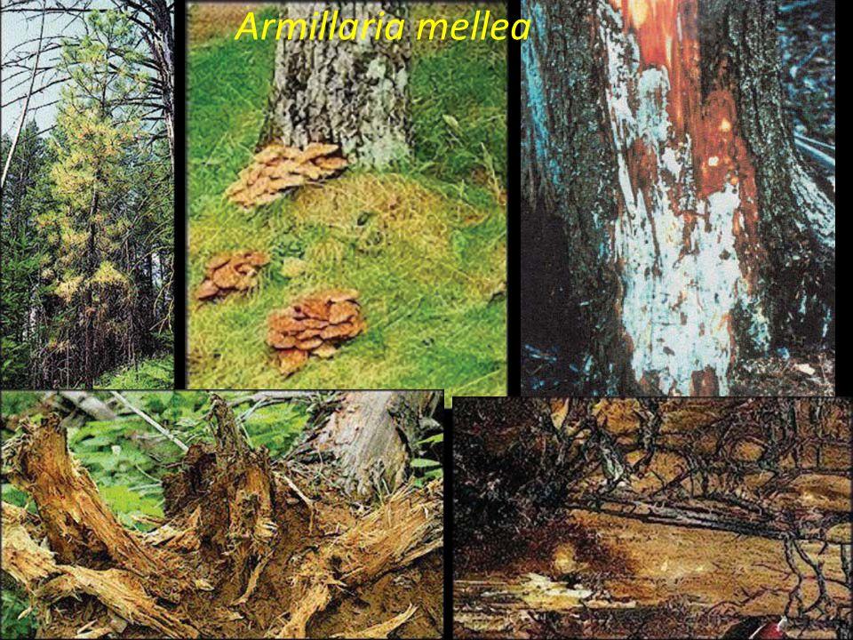 Ciclo biológico de Armillaria