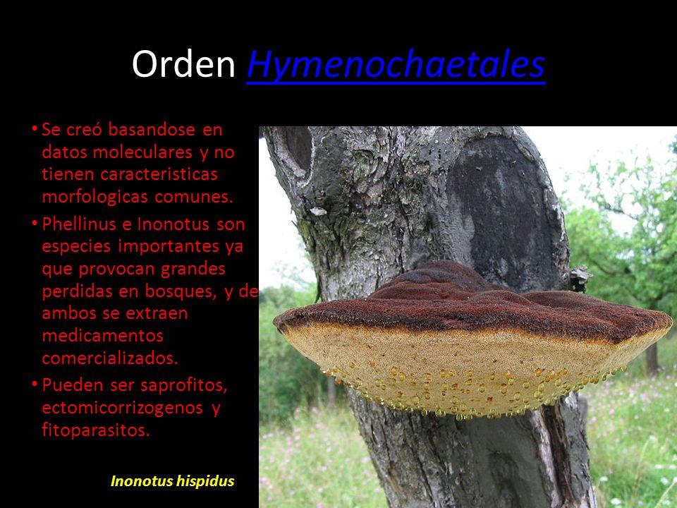 Orden CantharellalesCantharellales En este orden hay hongos ectomicorrizogenos, saprofitos, asociados a orquideas y fitopatogenos facultativos. Los cu