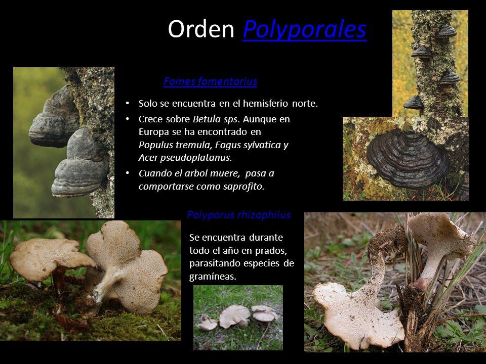 Orden PolyporalesPolyporales Crece sobre árboles caducifolios y produce una pudrición que acaba con la vida del arbol. Es comestible. Laetiporus sulph