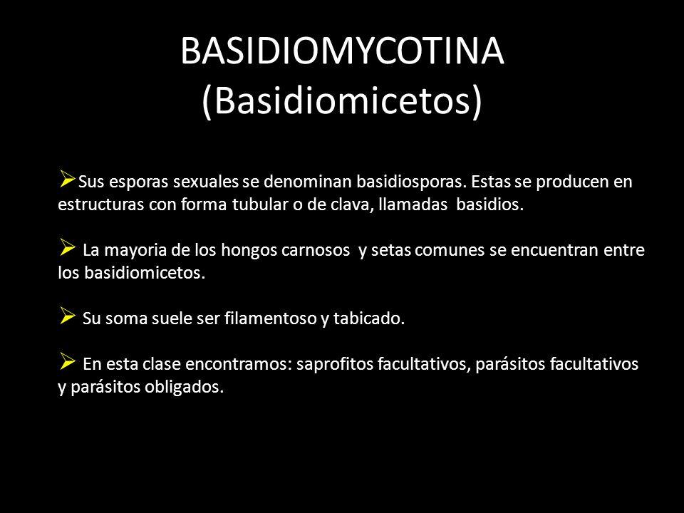 BASIDIOMYCOTINA (Basidiomicetos) Sus esporas sexuales se denominan basidiosporas.