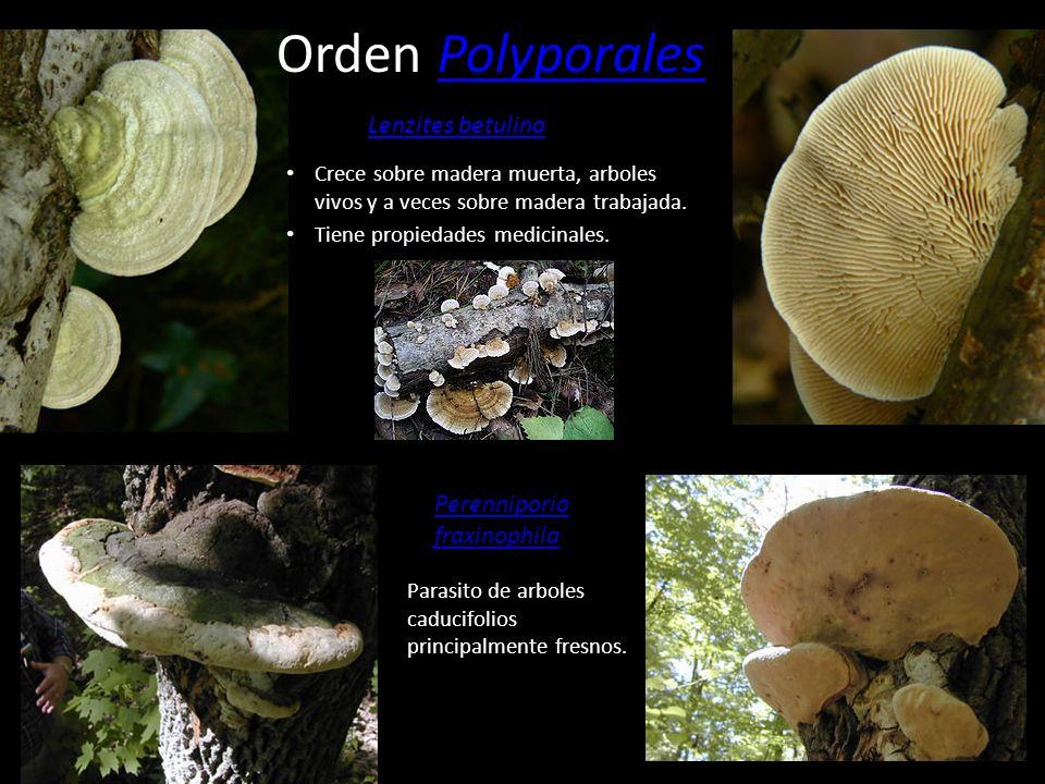 Orden PolyporalesPolyporales Solo se encuentra en el hemisferio norte. Crece sobre Betula sps. Aunque en Europa se ha encontrado en Populus tremula, F