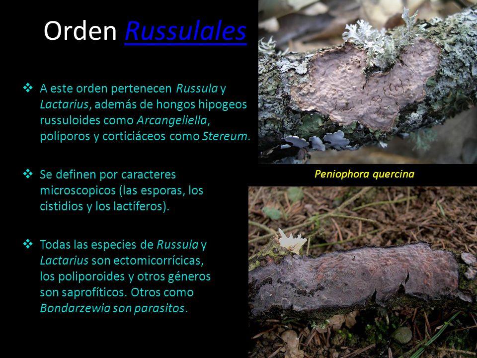 Orden PolyporalesPolyporales Crece sobre madera muerta, arboles vivos y a veces sobre madera trabajada. Tiene propiedades medicinales. Lenzites betuli