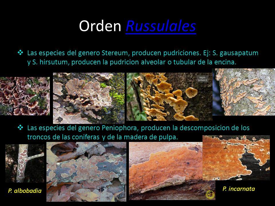 Orden RussulalesRussulales A este orden pertenecen Russula y Lactarius, además de hongos hipogeos russuloides como Arcangeliella, políporos y corticiá
