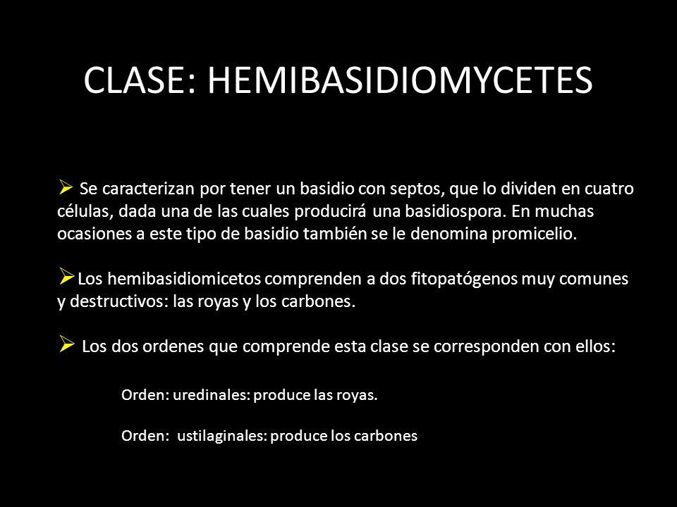 CLASE: HEMIBASIDIOMYCETES Se caracterizan por tener un basidio con septos, que lo dividen en cuatro células, dada una de las cuales producirá una basidiospora.
