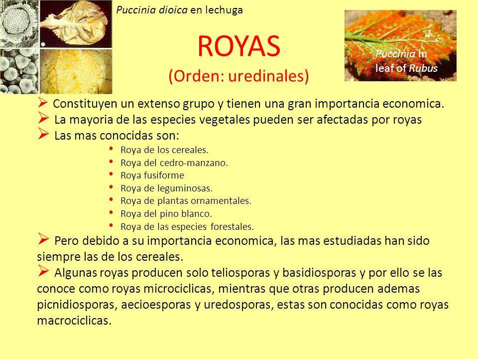 ROYAS (Orden: uredinales) Constituyen un extenso grupo y tienen una gran importancia economica.