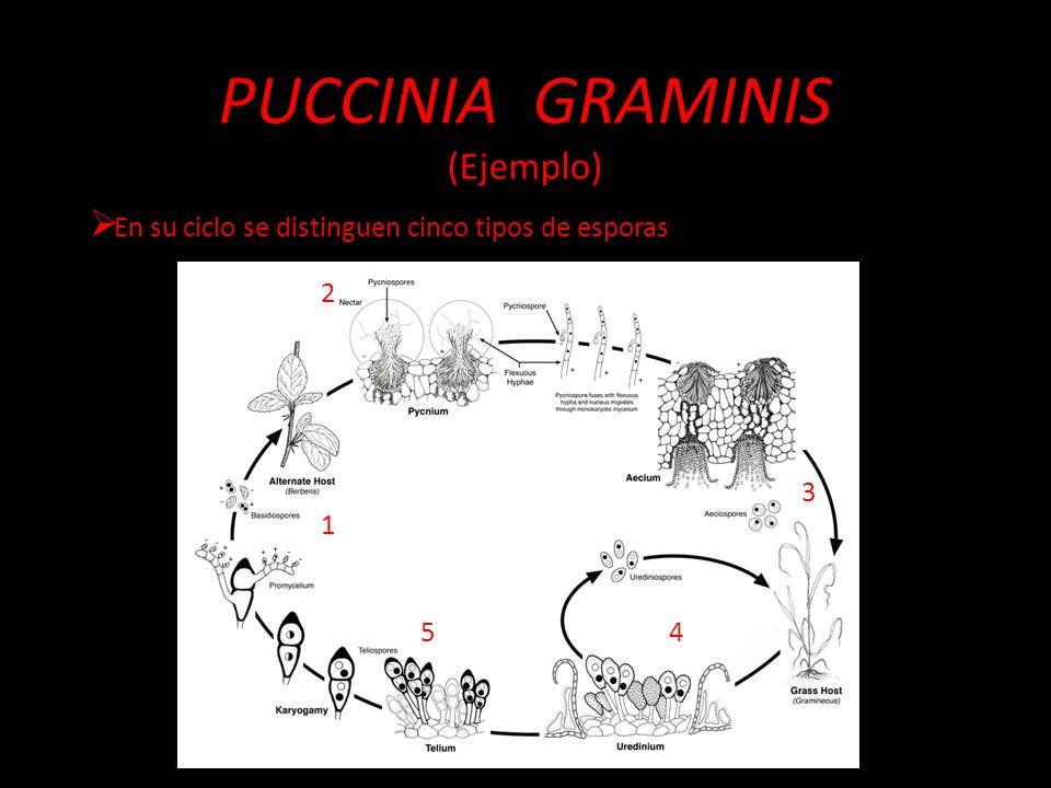 PUCCINIA GRAMINIS (Ejemplo) En su ciclo se distinguen cinco tipos de esporas 1 2 3 45