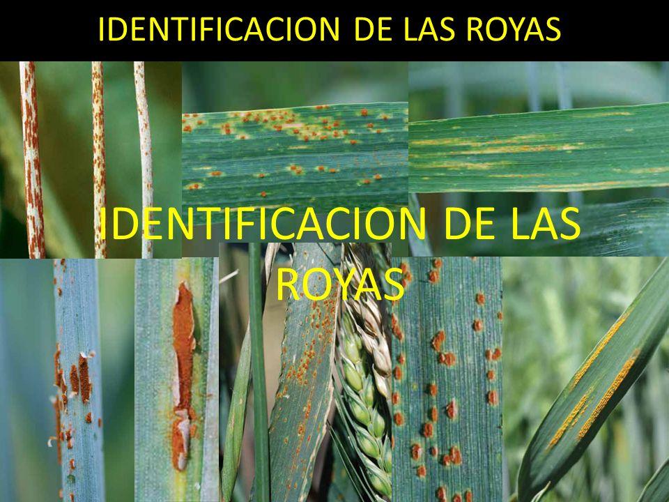 CARBONES QUE AFECTAN A ZEA MAYS (Ustilago maydis) No se conocen variedades completamente resistentes a este patogeno.