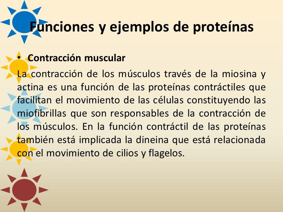 Contracción muscular La contracción de los músculos través de la miosina y actina es una función de las proteínas contráctiles que facilitan el movimi