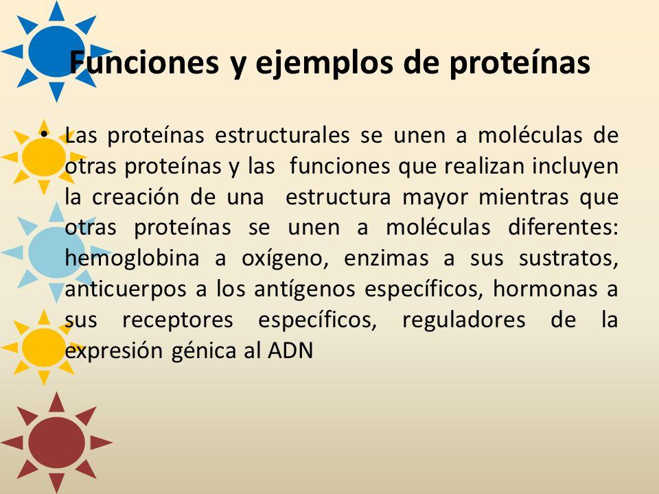Funciones y ejemplos de proteínas Las proteínas estructurales se unen a moléculas de otras proteínas y las funciones que realizan incluyen la creación