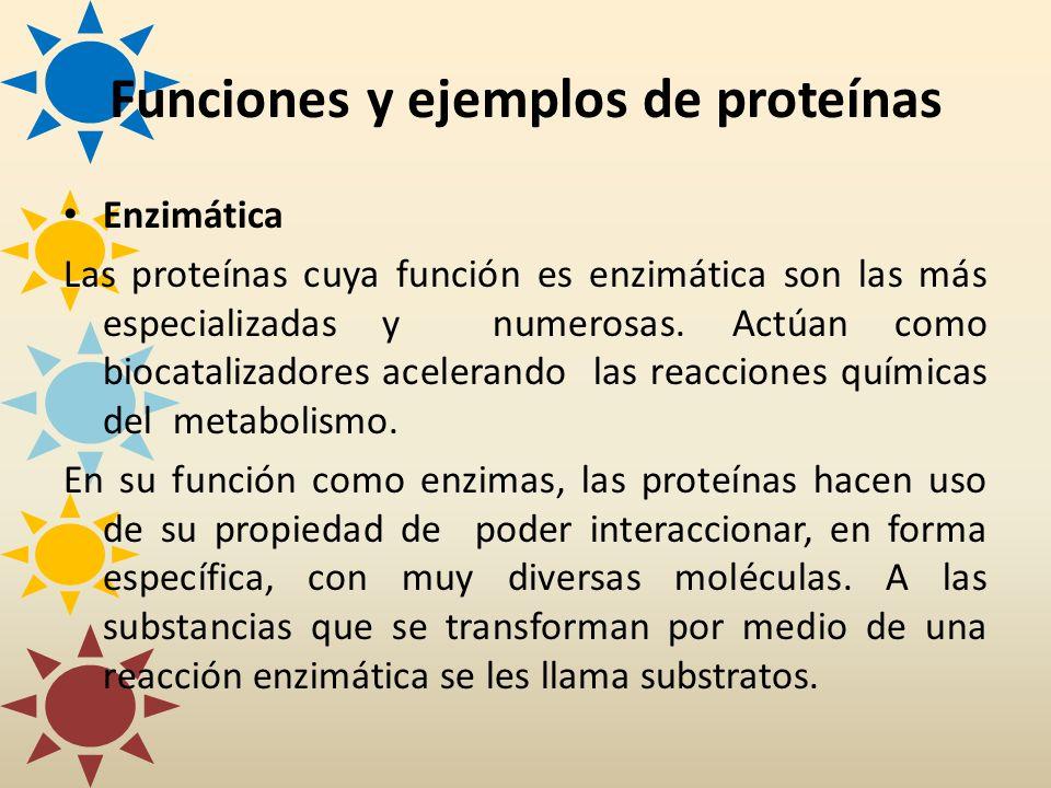 Enzimática Las proteínas cuya función es enzimática son las más especializadas y numerosas. Actúan como biocatalizadores acelerando las reacciones quí