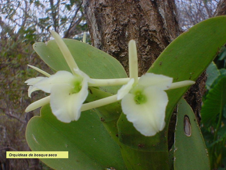 Orquideas de bosque seco