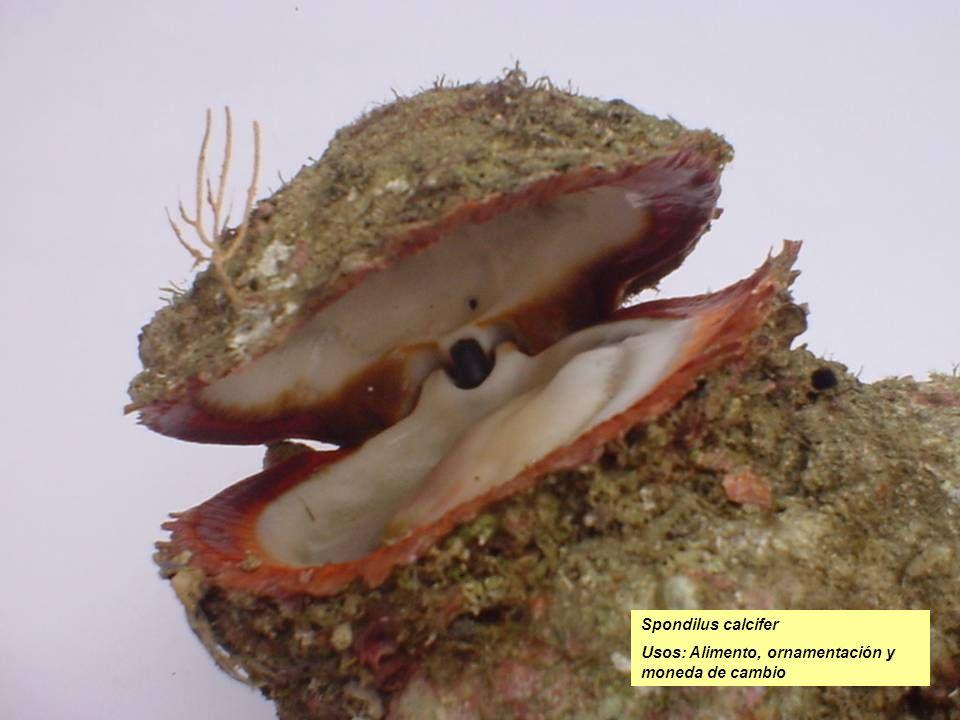 Spondilus calcifer Usos: Alimento, ornamentación y moneda de cambio