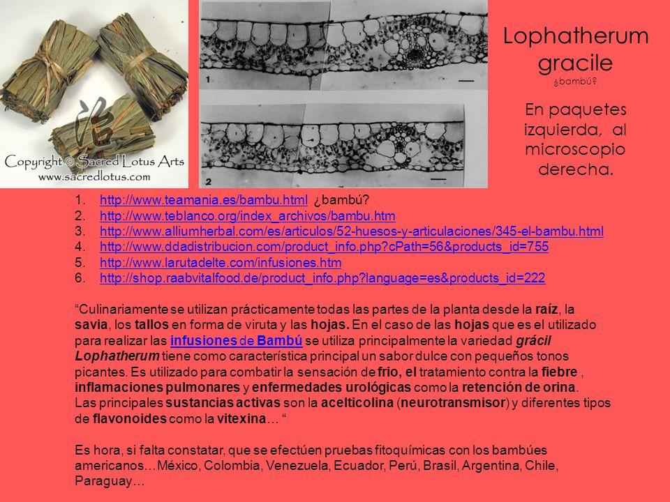 Lophatherum gracile ¿bambú.En paquetes izquierda, al microscopio derecha.