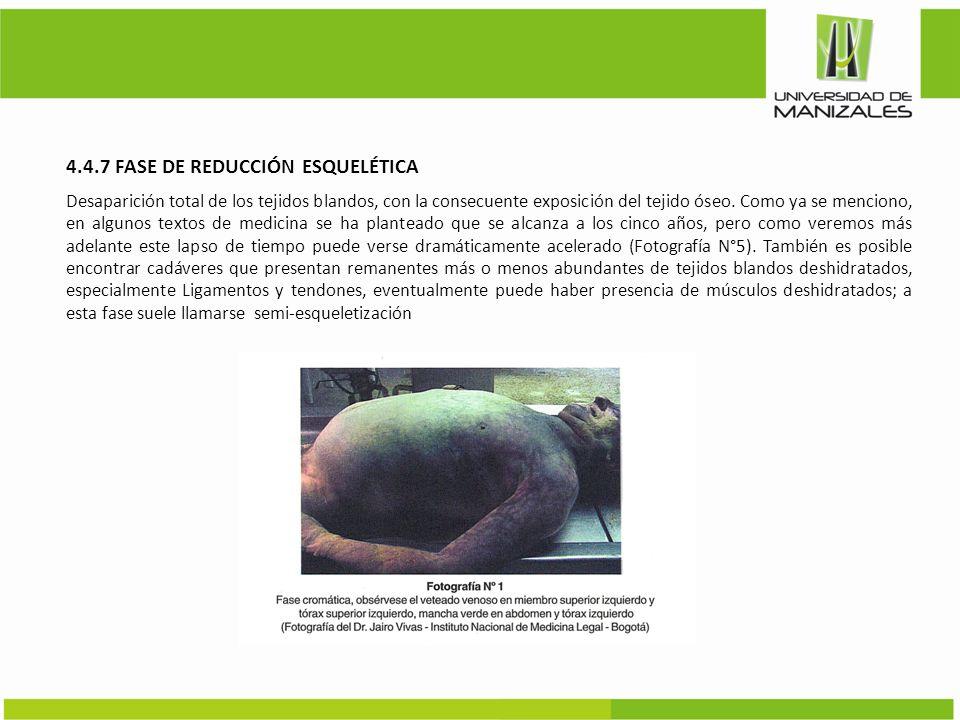 4.4.7 FASE DE REDUCCIÓN ESQUELÉTICA Desaparición total de los tejidos blandos, con la consecuente exposición del tejido óseo. Como ya se menciono, en