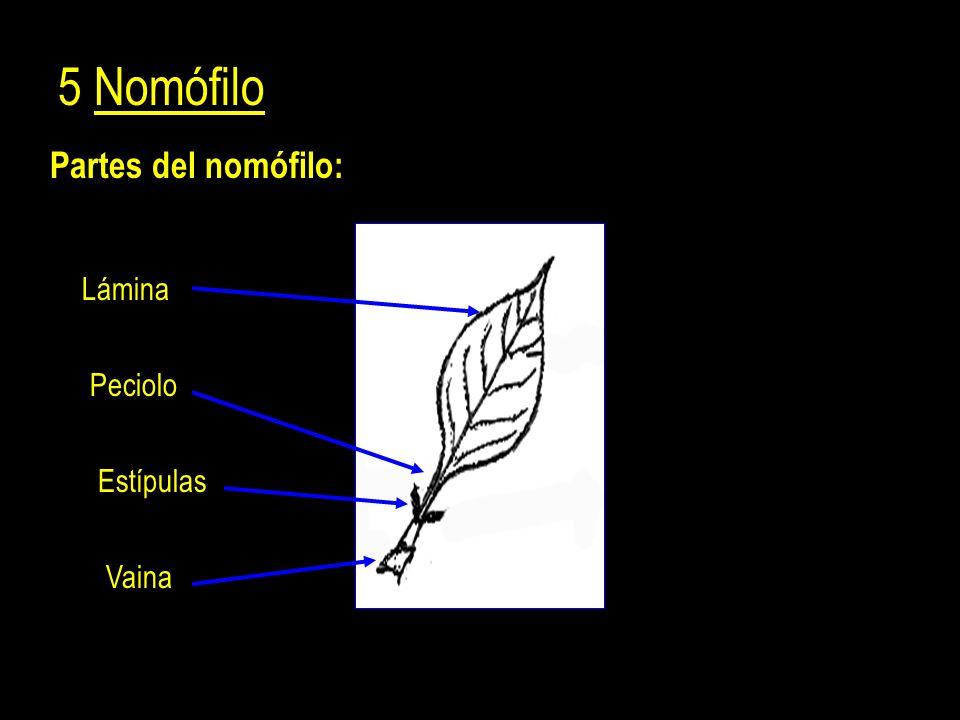 Partes del nomófilo: 5 Nomófilo Lámina Peciolo Estípulas Vaina