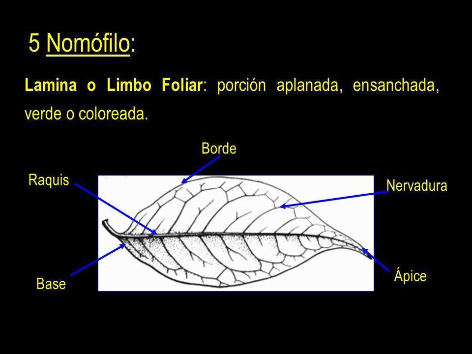 5 Nomófilo: Lamina o Limbo Foliar : porción aplanada, ensanchada, verde o coloreada.