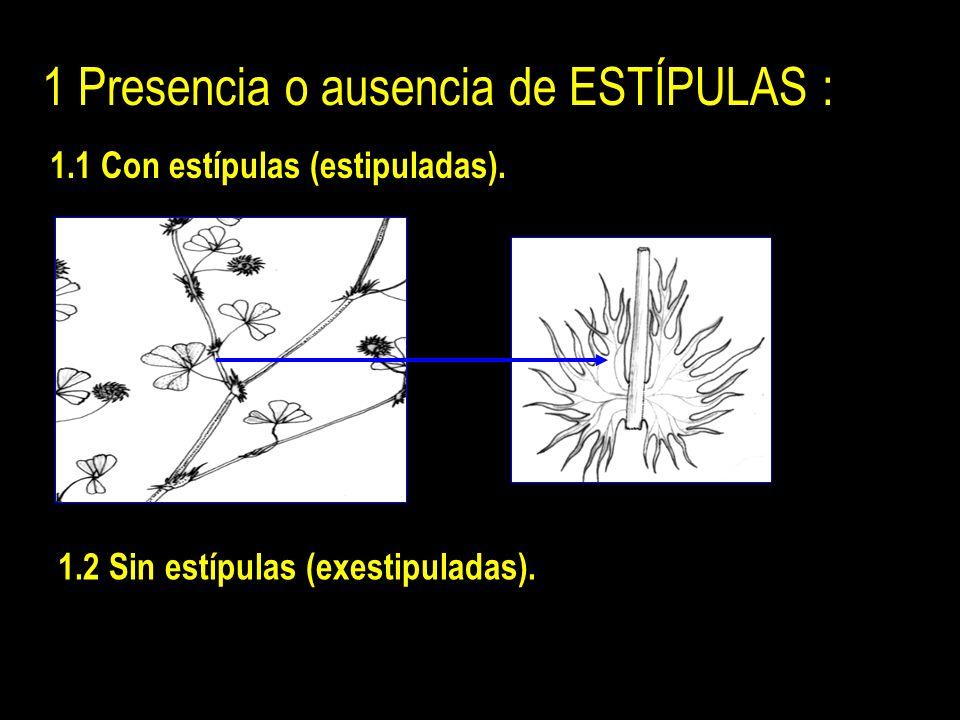 1 Presencia o ausencia de ESTÍPULAS : 1.1 Con estípulas (estipuladas).