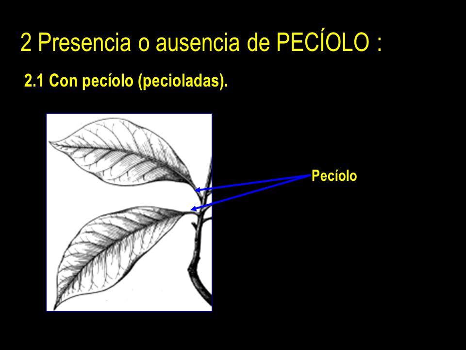 2 Presencia o ausencia de PECÍOLO : 2.1 Con pecíolo (pecioladas). Pecíolo