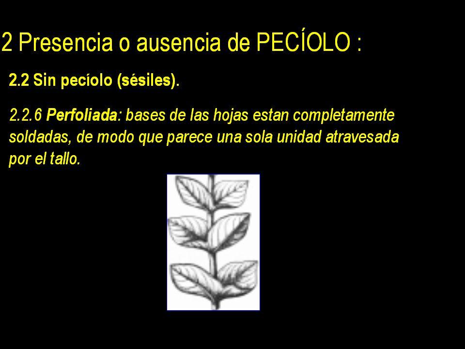 2 Presencia o ausencia de PECÍOLO : 2.2 Sin pecíolo (sésiles).