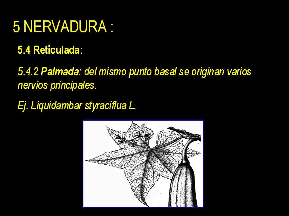 5 NERVADURA : 5.1 Uninervia : un único nervio = Raquis Ej. acicula de pino.