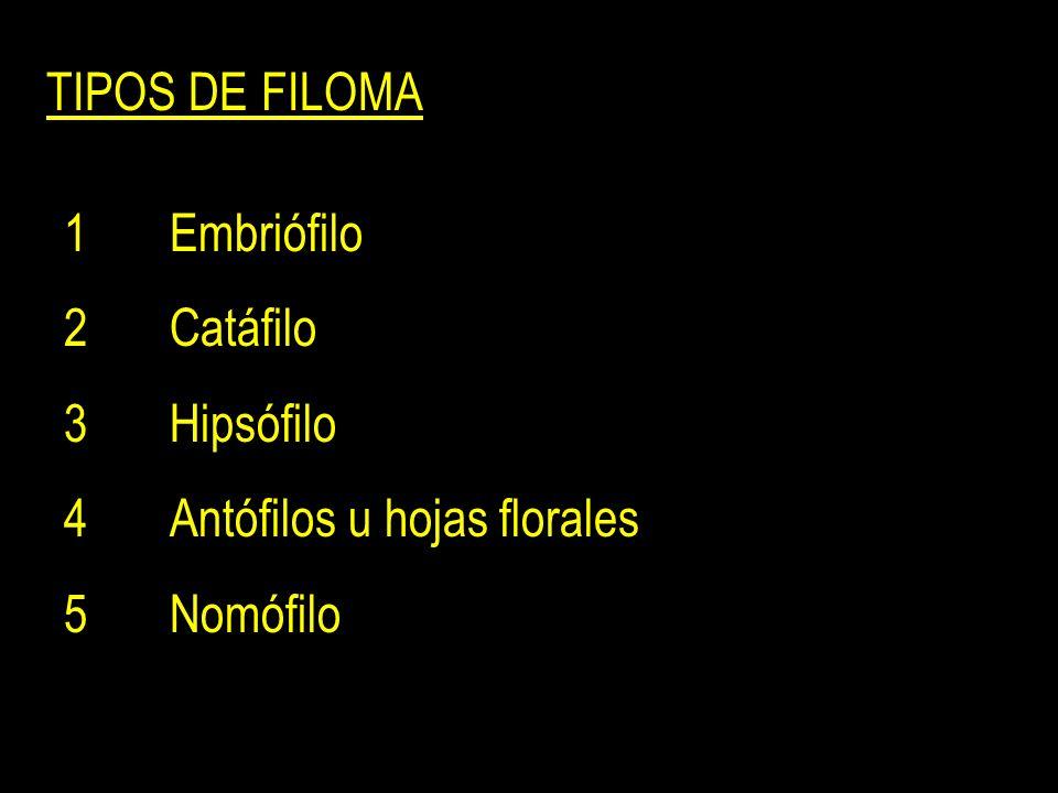 TIPOS DE FILOMA 1Embriófilo 2Catáfilo 3Hipsófilo 4Antófilos u hojas florales 5Nomófilo
