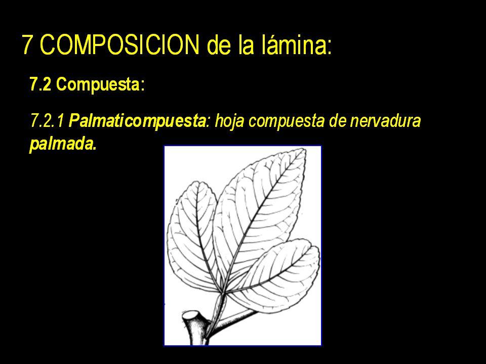 Yema axilar Zona absición 7 COMPOSICION de la lámina: 7.1 Simple : hoja cuya lámina se comporta como una sola unidad.