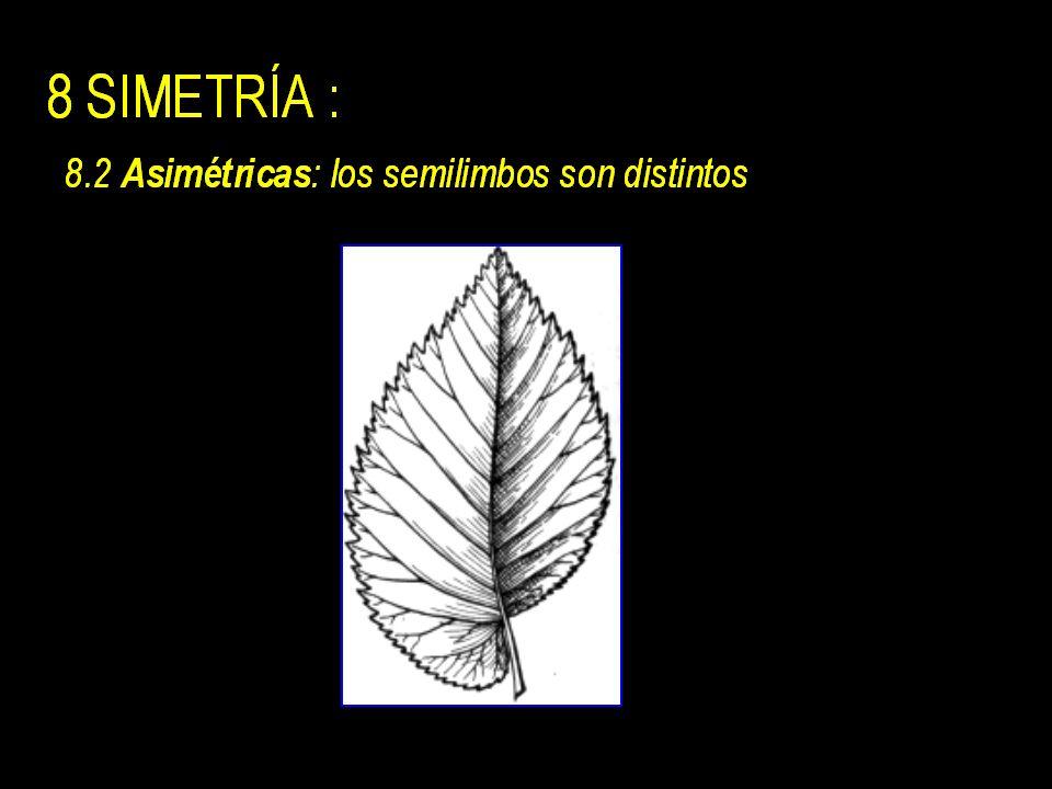 8 SIMETRÍA : 8.1 Simétricas : nervio medio divide la lamina en dos semilimbos iguales.