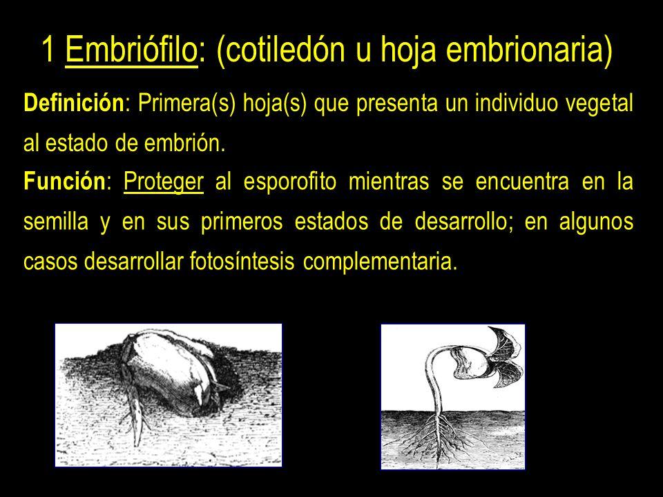 1 Embriófilo: (cotiledón u hoja embrionaria) Definición : Primera(s) hoja(s) que presenta un individuo vegetal al estado de embrión.