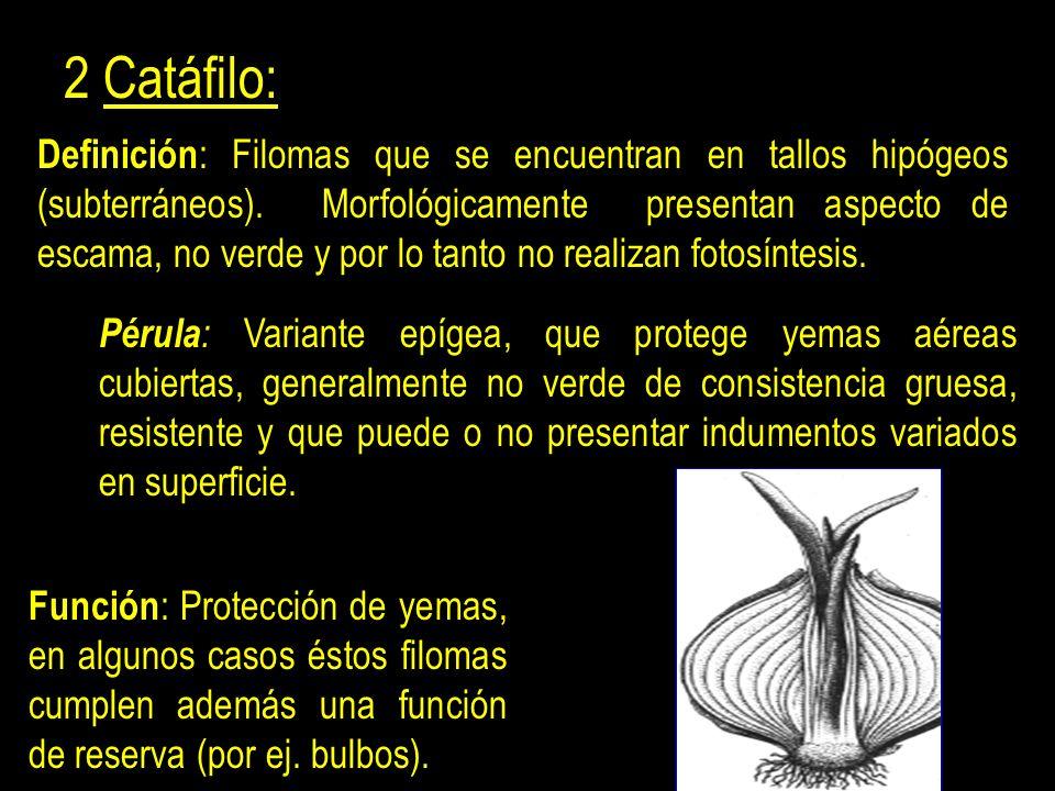 3 Hipsófilo: Definición : Filoma de forma aplanada, verde y/o coloreado, asociado a las estructuras reproductivas sexuales del vegetal.