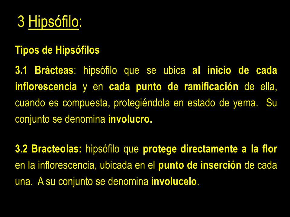 3 Hipsófilo: 3.1 Brácteas : hipsófilo que se ubica al inicio de cada inflorescencia y en cada punto de ramificación de ella, cuando es compuesta, protegiéndola en estado de yema.