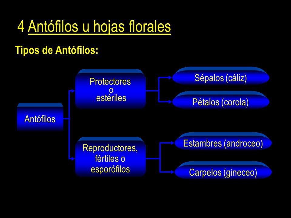 Tipos de Antófilos: 4 Antófilos u hojas florales Antófilos Protectores o estériles Reproductores, fértiles o esporófilos Sépalos (cáliz) Pétalos (corola) Carpelos (gineceo) Estambres (androceo)