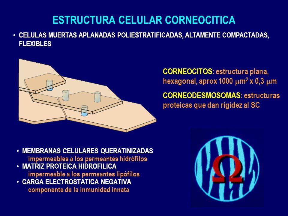 ULTRAESTRUCTURA LAMINAR INTERCORNEOCITICA CEMENTO INTERCELULAR, UNICO MEDIO CONTINUO DE COMUNICACION ENTRE MEDIO INTERNO Y EL EXTERNO ultraestructura laminar, en que se alternan capas lipídicas y acuosas, en unidades randomizadas de 6.4 y 13.4 nm
