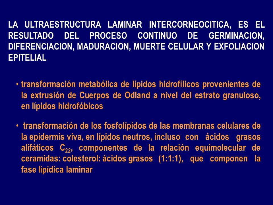 CINETICA CELULAR EPIDERMICA Proceso continuo de germinación, maduración, diferenciación, muerte y exfoliación Proceso continuo de germinación, maduración, diferenciación, muerte y exfoliación migraci ón + metabolización migraci ón + metabolización GRANULOS QUERATOHIALINA GRANULOS QUERATOHIALINA CUERPOS DE ODLAND (200-300 nm) CUERPOS DE ODLAND (200-300 nm) DESMOSOMAS GRANULOCITOS QUERATINOCITOESPINOSO QUERATINOCITOESPINOSO QUERATINOCITOBASAL QUERATINOCITOBASAL MEMBR.
