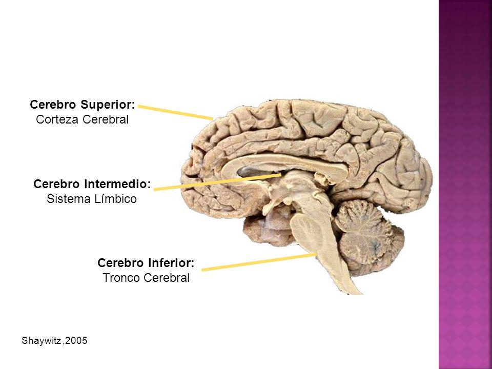 Cerebro Superior: Corteza Cerebral Cerebro Intermedio: Sistema Límbico Cerebro Inferior: Tronco Cerebral Shaywitz,2005