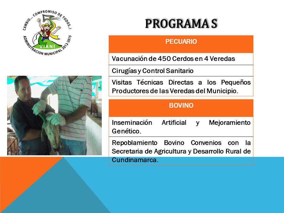 PROGRAMA S PECUARIO Vacunación de 450 Cerdos en 4 Veredas Cirugías y Control Sanitario Visitas Técnicas Directas a los Pequeños Productores de las Ver