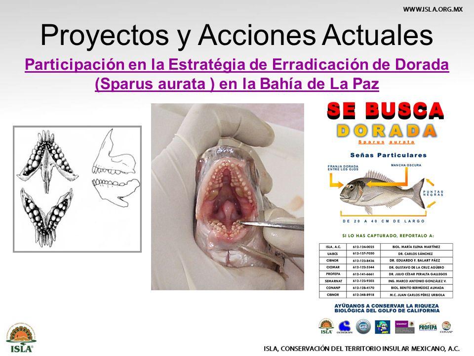 Participación en la Estratégia de Erradicación de Dorada (Sparus aurata ) en la Bahía de La Paz Proyectos y Acciones Actuales